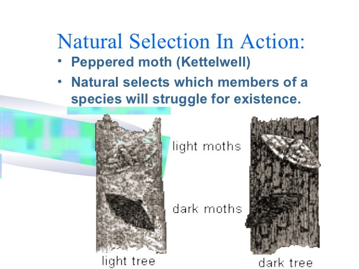 moth example of natural selection