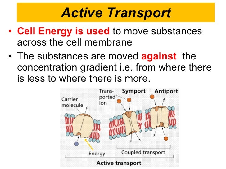 example of active transport in the body