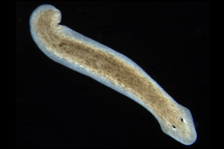 what is an example of a flatworm