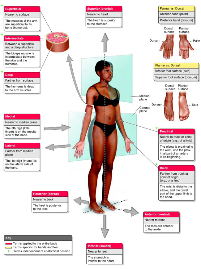 example of superficial in anatomy