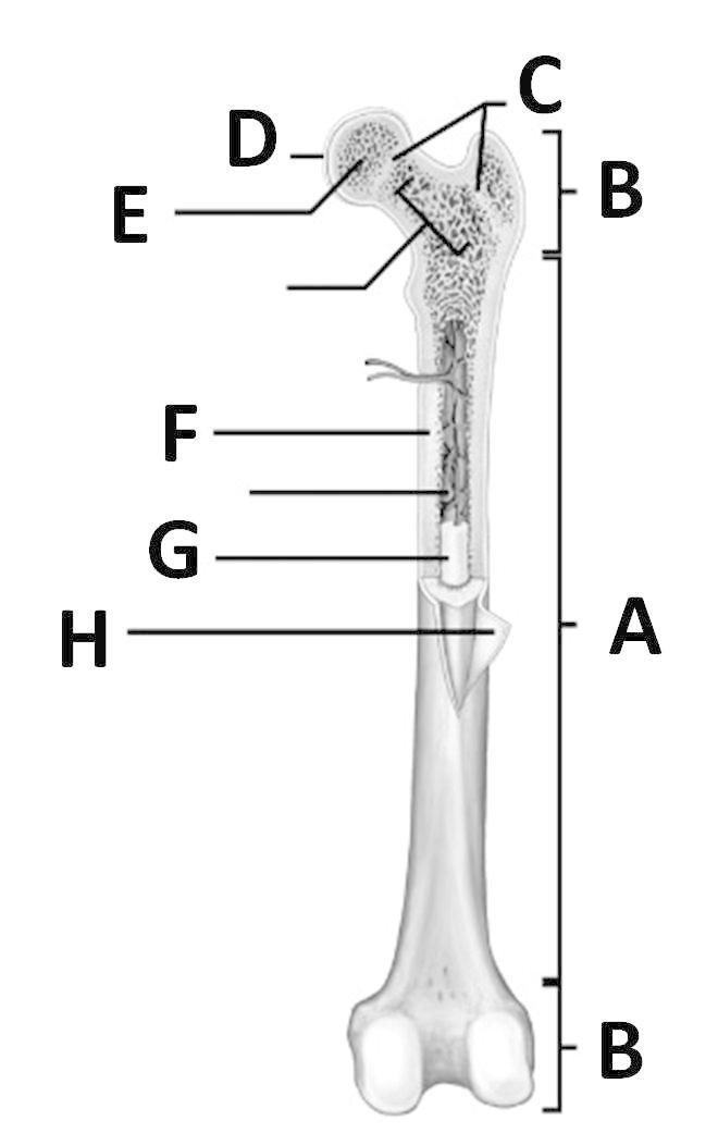 upper end of humerus is an example of compound epiphysis